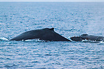 Humpback Whales surfacing, showing back and dorsal fins. Another whale's head  nearby. Maui, Hawaii.