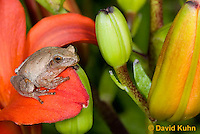 0808-0909  Spring Peeper Frog Climbing on Red Lily, Pseudacris crucifer (formerly: Hyla crucifer)  © David Kuhn/Dwight Kuhn Photography