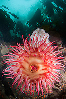 QX71774-D. Fish-eating Sea Anemone (Urticina piscivora). Washington, USA, Pacific Ocean.<br /> Photo Copyright &copy; Brandon Cole. All rights reserved worldwide.  www.brandoncole.com