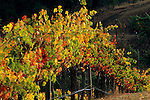 Grape vines at Hanna Vineyards, Alexander Valley, Sonoma County, California
