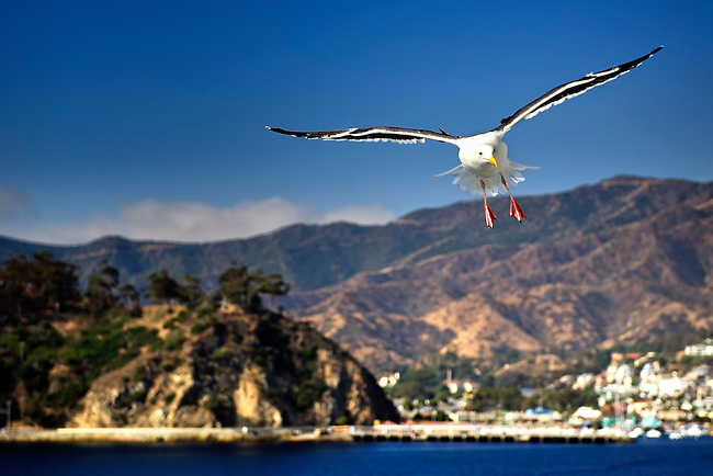 White seagul flying near Catalina, California