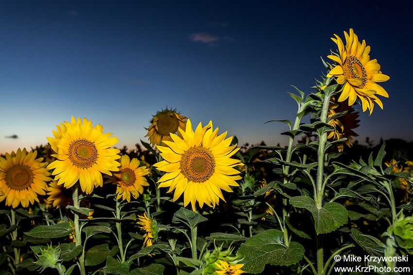 Field of Sunflowers at dusk in Haleiwa, Oahu, Hawaii