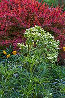 Helleborus foetidus, Stinking Hellebore flowering in O'Byrne Garden