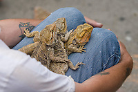 Three bearded dragons laying on top of each other as they rest on the lap of a man, taken July 2008.