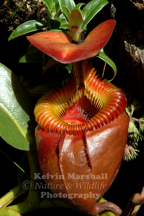Nepenthes villosa ,or the Villose Pitcher-Plant, is a tropical pitcher plant endemic to Mount Kinabalu and neighbouring Mount Tambuyukon in northeastern Borneo. It grows at higher altitudes than any other Bornean Nepenthes species, occurring at elevations of over 3200 m.