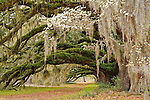 Live oak grove and blooming dogwood tree, South Carolina
