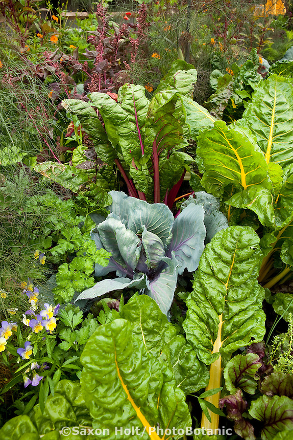 Intensive vegetable garden in mixed border of edible plants, chard, cabbage, fennel, violets, beets
