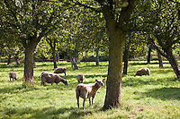 French sheep flock in an apple orchard at Trelly in Normandy, France