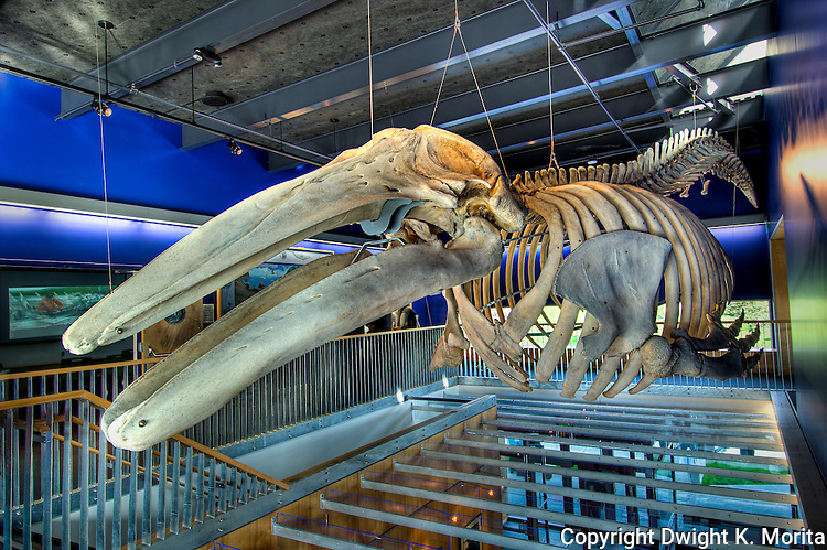 The skeleton of a gray whale is on display in the Visitor Center in Kodiak, Alaska.  The skeleton is from a male whale whose carcass was discovered by Stacy Studebaker.  Ms. Studebaker notified authorities of the find, but personally undertook the long term project to turn the death of this magnificent animal into an educational exhibit.