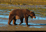 Alaskan Coastal Brown Bear at Sunrise, Silver Salmon Creek, Lake Clark National Park, Alaska