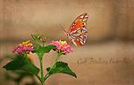 Gulf Fritillary Butterfly<br /> Agraulis vanillae<br /> August 15, 2012. &copy; Fitzroy Barrett