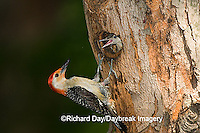 01196-033.07 Red-bellied Woodpecker (Melanerpes carolinus) male feeding nestling at nest cavity, Marion Co. IL