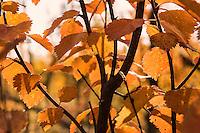 Orange Birch Leaves in Autumn, Lapland, Sweden