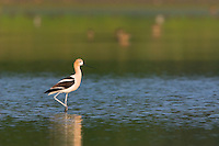 American Avocet, wading in a salt marsh, Stone Harbor, New Jersey