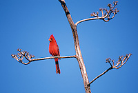 35-B07-CAR-06   CARDINAL (Richmondena cardinalis) male on branch in spring, Saguaro National Park, Arizona, USA.