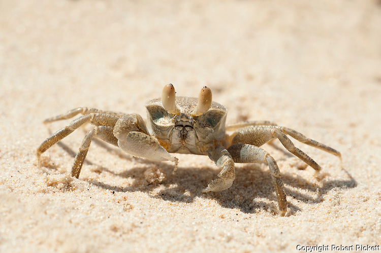 Ghost Crab, Ocypodinae sp, on beach, Ifaty, Madagascar, daytime