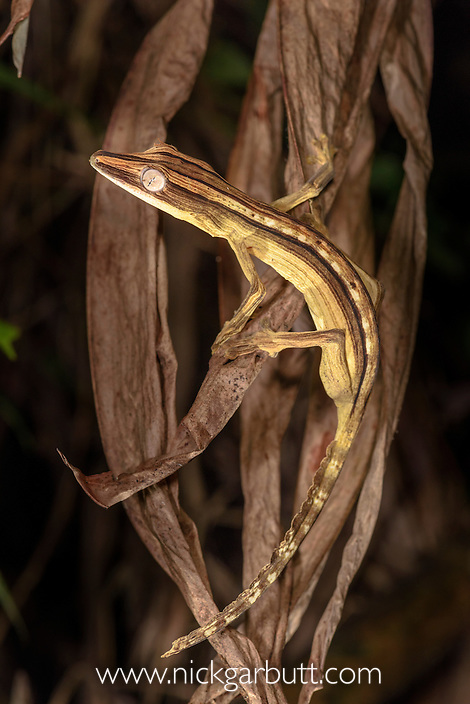 Lined Leaf-tailed Gecko (Uroplatus lineatus). Active in dead palm fronds in forest understorey at night. Marojejy National Park, Madagascar.