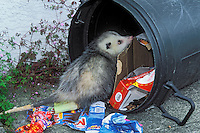 VIRGINIA OPOSSUM raiding home garbage..British Columbia, Canada..Summer. (Didelphis virginiana)...