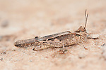 Egyptian locust, Anacridium aegyptium, Morocco, Adult, Morocco, camouflaged on ground