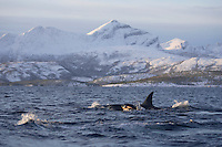 Killer whale Orcinus orca calf surfacing at mothers side. this position gives the calf a hydrodynamic lift pulling it along and uses less energy. Tysfjord, Arctic Norway