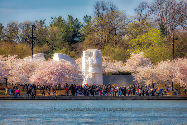 MLK Memorial - Washington Monument Washington DC Cherry Blossoms blooming around the Tidal Basin, National Mall , and US Capitol in Washington DC symbolize the natural beauty of our Nation's Capital City and has become part of Washington DC's rite of Spring. Landmarks include the Jefferson Memorial, Washington Monument, and US Capitol. A popular tourist attraction and travel destination for many visiting Washington DC.