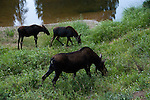 moose, cow, calves, Alces alces, browsing, wetland, wildlife, mammal, ungulate, Colorado River, water, reflection, summer, August, nature, evening, Kawuneeche Valley, Rocky Mountain National Park, Colorado, USA