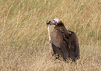 Lappet-faced Vulture, Torgos tracheliotus, holds the leg of a gazelle in Maasai Mara National Reserve, Kenya