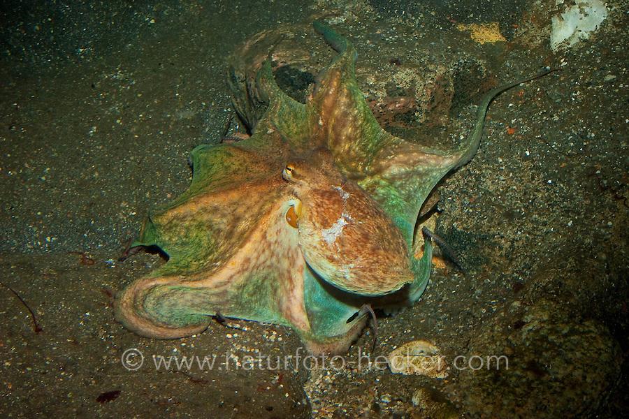 Gemeiner Krake, Gemeiner Octopus, Oktopus, Octopus vulgaris, common octopus, common Atlantic octopus, common European octopus