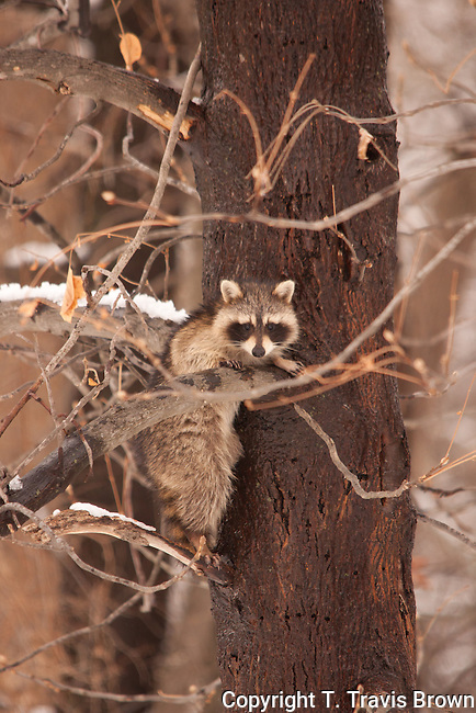 Young raccoon in winter tree