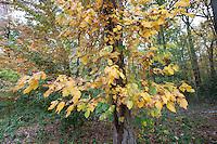 Poison Ivy; Toxicodendron radicans; autumn; PA, Philadelphia, Fairmount Park; Carpenter's Woods;