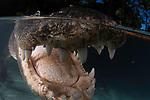 American alligator over under shot,(Alligator mississippiensis), Everglades Outpost. Nuissance alligators in protective pens, Homestead FL