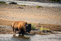 A bison wades in the Lamar River in Yellowstone National Park.