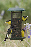 Lesser Goldfinch, Carduelis psaltria, black-backed males on Thistle Feeder near Mealy sage (Salvia farinacea), Uvalde County, Hill Country, Texas, USA