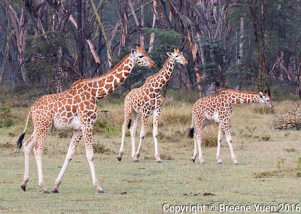 Giraffe Family  Kenya 2015