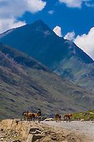 Herding horses towards Kashmir from Ladakh, Jammu and Kashmir State, India.