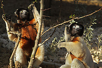 Crowned sifakas (Propithecus coronatus), an endangered species of the lemur family from Madagascar, in the Propithecus enclosure in the Zone Madagascar of the new Parc Zoologique de Paris or Zoo de Vincennes, (Zoological Gardens of Paris or Vincennes Zoo), which reopened April 2014, part of the Musee National d'Histoire Naturelle (National Museum of Natural History), 12th arrondissement, Paris, France. Picture by Manuel Cohen