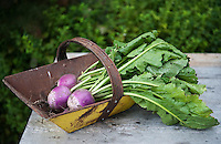 An antique trug containing some fine examples of turnips grown in the kitchen garden