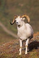 Dall Sheep (Ovis dalli), ram, Denali National Park, Alaska, USA