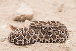 San Diego, California; a juvenile Western Rattlesnake coiled in a defensive position on a dirt path