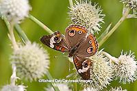 03411-011.12 Common Buckeye Butterfly (Junonia coenia) on Rattlesnake Master (Eryngium yuccifolium) Marion Co., IL