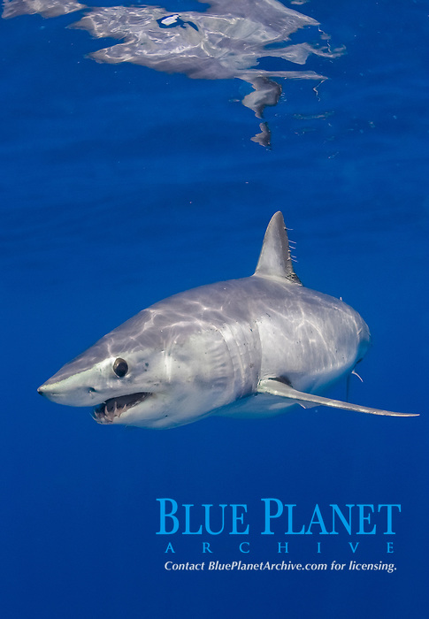 mako shark, Isurus oxyrinchus, Cape Point, South Africa