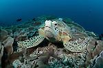 Green Turtle, Chelonia Midas, Maratua Atoll, Kalimantan, Borneo, Indonesia, Pacific Ocean