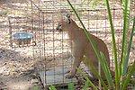Cougar, Big Cat Rescue