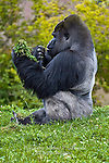 Endangered Male Western Lowland Gorilla, Gorilla gorilla gorilla (captive Pittsburgh Zoo)