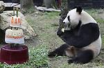 Foto: VidiPhoto<br /> <br /> RHENEN - Ouwehands Dierenpark in Rhenen heeft dankzij de komst van de twee panda&rsquo;s Wu Wen en Xing YA in 2017 voor het eerst in zijn bestaan meer dan 1 miljoen (1.055.000)  bezoekers getrokken. Dat heeft het dierenpark dinsdag bekend gemaakt. Het bezoekersaantal van ruim 1 miljoen is overigens slechts 58.000 meer dan vorig jaar. Ter vergelijking: buurpark Burgers&rsquo; Zoo in Arnhem trok vorig jaar ruim 134.000  bezoekers meer, tot een totaal van 1,15 miljoen. Omdat Ouwehands veel meer bezoekers had verwacht, werden extra parkeerplaatsen in de buurt aangelegd. Die hoefden slechts een enkele keer gebruikt te worden. Ook de verwachte lange files op de aanvoerroutes bleven uit. Ouwehands Dierenpark is in november gestart met de voorbereidingen van de bouw van een nieuw te realiseren verblijf voor bonobo&rsquo;s. In eerste instantie zal dat een onderkomen bieden aan zeven mensapen. Naar verwachting zal dit aantal snel uitgroeien naar een maximum van twintig dieren.