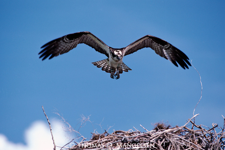 Osprey landing on nest.