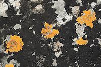 """Schwarze Krustenflechte, Schwärzliche Warzenflechte, Hydropunctaria maura, Verrucaria maura  gemeinsam mit Schönfleck, Goldgelbe Schönflechte, Caloplaca maritima, Caloplaca citrina var. maritima, an Küstenfelsen, Spritzwasserzone, Küstenflechten, Verrucaria-Gürtel, """"Schwarze Zone"""" als Grenze, Übergangszone vom Festland ins Meer"""