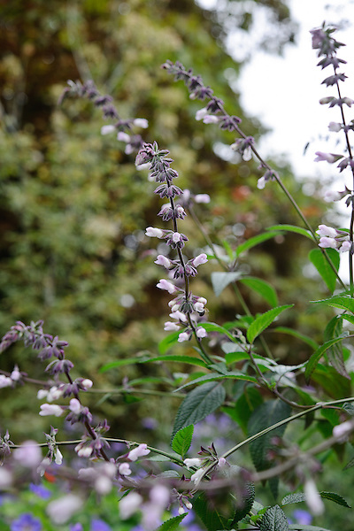 Salvia Leucantha 'Waverly'
