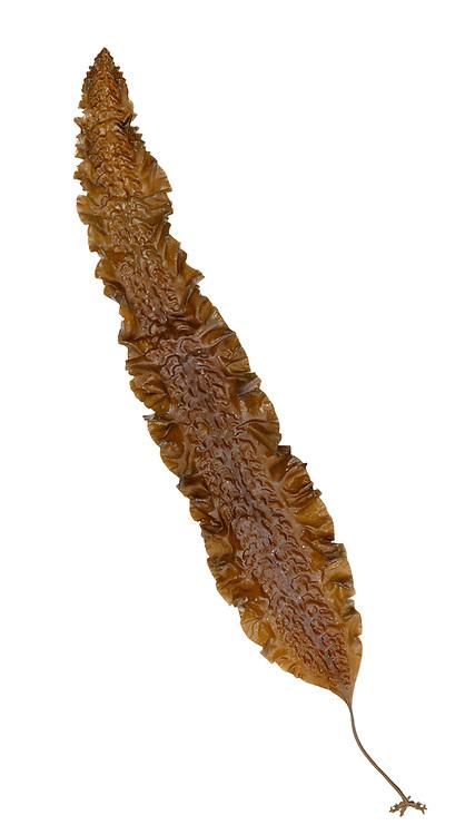 Sea Belt - Laminaria saccharina