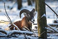 Mufflon, Männchen, Widder, Bock frisst Zweige, Äste, Muffelwild, Muffel-Wild, Muffel, Ovis musimon, Ovis aries musimon, Ovis gmelini musimon, mouflon